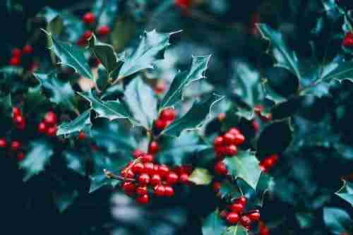 add holly plants to your yard in the winter