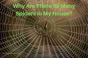 Spiders In The House & How To Get Rid Of Them